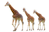 Giraffes family — Stock Photo