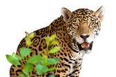 Wild jaguar — Stock Photo