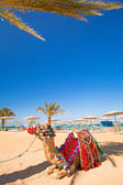 Camel resting in shadow on the beach of Hurghada — Foto de Stock