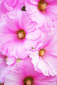Pink Alcea flowers — Stock Photo