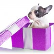 Adorable French bulldog puppy in the gift box — Stock Photo