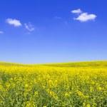 Blooming yellow rape field — Stock Photo #25669915