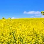 Blooming yellow rape field — Stock Photo #25669929
