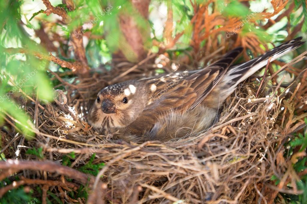 kleine gemeenschappelijk kneu vogel legt eieren stockfoto patryk kosmider 25669169. Black Bedroom Furniture Sets. Home Design Ideas