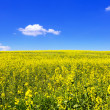 Blooming yellow rape field — Stock Photo #25670257