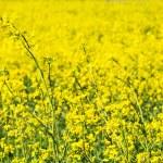 Blooming yellow rape field — Stock Photo #25672059