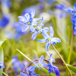 Blue spring flowers — Stock Photo