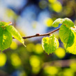 Stock Photo: Green spring leaves