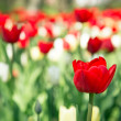 Colorful tulips in garden — Stok Fotoğraf #25787633