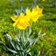 Daffodil flowers — Foto Stock #26183671