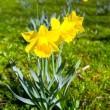 Stock Photo: Daffodil flowers