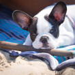 French bulldog puppy with stick — Stock Photo