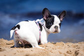 French bulldog puppy on the beach — Stock Photo