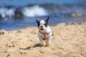 Çalışan Fransız bulldog yavrusu — Stok fotoğraf