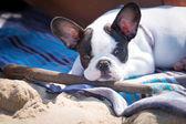 Cachorro de bulldog francés con palo — Foto de Stock