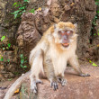 Macaque monkey in wildlife - Stock Photo