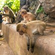 makaak monkey in wildlife — Stockfoto
