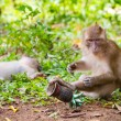 Macaque monkey in wildlife — Foto de Stock