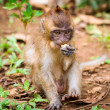 Macaque monkey in wildlife — Stock Photo #26412145