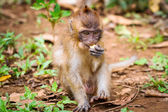 Macaque monkey in wildlife — Photo
