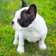 Puppy on the grass — Stock Photo #26630603