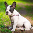 Stock Photo: Puppy on the grass
