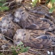 Common Linnet baby birds — Stock Photo