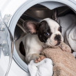 Foto de Stock  : Puppy inside washing machine
