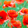 Stock Photo: Blossom poppy flowers