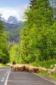 Flock of sheep in Tatra mountains — Stock Photo