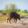 Wild boar on the path — Stock Photo