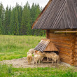 Sheep and goats under wooden hut in Tatra mountains — Stock Photo #27975407