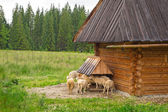 Sheep and goats under wooden hut in Tatra mountains — Stock Photo