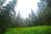 Misty forest in Tatra mountains — Stock Photo