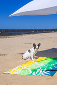 Parasol and dog on the beach of Baltic Sea — Stock Photo