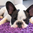 French bulldog sleeping on the carpet — 图库照片