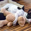 Puppy sleeping with teddy bear — Stock Photo