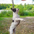 Jumping french bulldog — Stock Photo