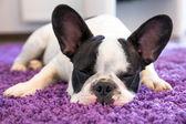 French bulldog sleeping on the carpet — Stock Photo