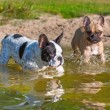 French bulldogs in the lake  — Stock Photo