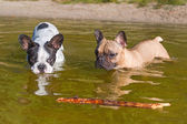 French bulldogs swimming in the lake — Stock Photo