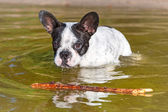 French bulldog swimming in the lake — Stock Photo