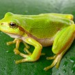Green tree frog on the leaf — Stock Photo