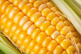 Espiga de milho fresca — Fotografia Stock