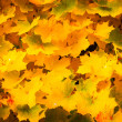 Autumnal yellow leaves — Stock Photo