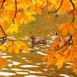 Ducks swimming across the pond — ストック写真 #33527859