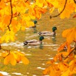 Ducks swimming across the pond — Stock Photo