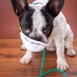 French bulldog wearing a stethoscope — Stock Photo