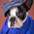 Adorable french bulldog wearing blue shirt — Foto de Stock