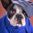 Stock Photo: Adorable french bulldog wearing blue shirt